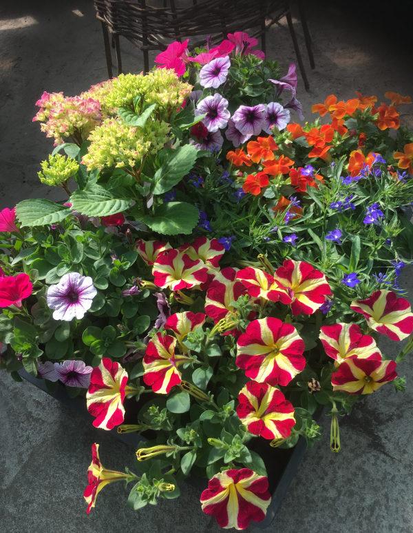 Hooaja lilled