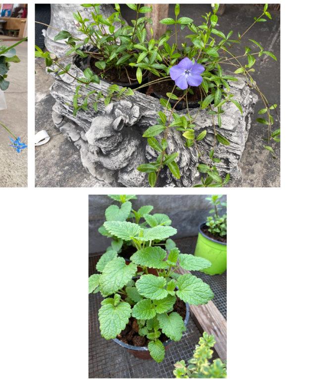 Martsikuu lilled